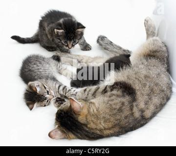 Les chats domestiques, famille de chat