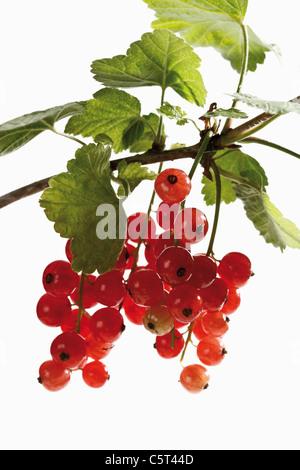 Groseilles rouges (Ribes rubrum) sur une branche, close-up Banque D'Images