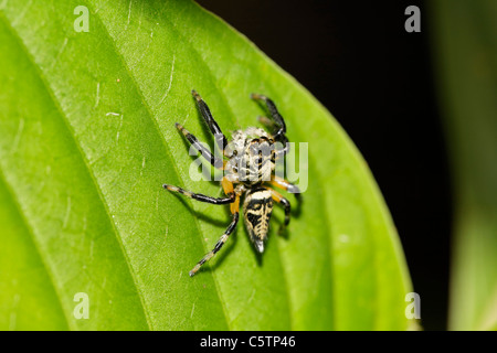 Costa Rica, Salticidae on leaf Banque D'Images
