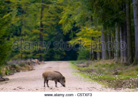 Porcs sauvages sur la voie dans la forêt Banque D'Images