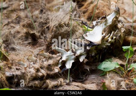 Carcasse d'un renard roux. Banque D'Images