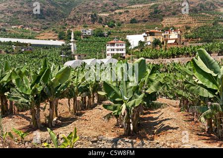 La Turquie du sud agricole agriculteur bananes bananier arbres entre Antalya et Alanya Banque D'Images