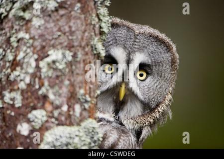 Chouette lapone, Laponie Owl (Strix nebulosa), autour de peering arbre. Banque D'Images