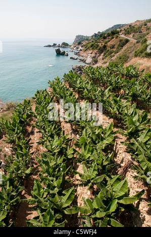 Mer Plage Côte Sud Turquie mer banana tree farm bananes agriculteur arbres entre Antalya et Alanya Banque D'Images