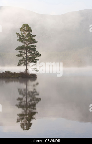 Le pin sylvestre (Pinus sylvestris) dans le brouillard. Loch an Eilein, Rothiemurchus, Parc National de Cairngorms, Banque D'Images