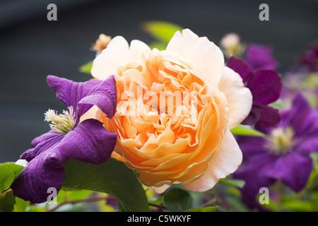 Rosa 'Crown Princess Margareta Clematis viticella' avec 'Etoile Violette'. Banque D'Images