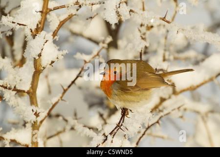 Robin (Erithacus rubecula aux abords), des profils perché en haie dans la neige. Banque D'Images