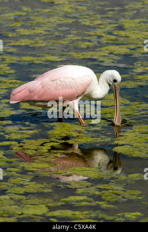 Roseate Spoonbill (juvénile) - Green Cay Wetlands - Delray Beach en Floride, USA Banque D'Images