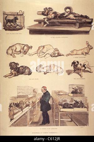 Louis Pasteur (1822-1895) en laboratoire, travaillant sur l'hydrophobie (la rage), des expériences avec des lapins Banque D'Images