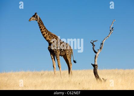 Un homme seul giraffe. Concession Etendeka, Damaraland, Namibie, Kaokoveld. Banque D'Images