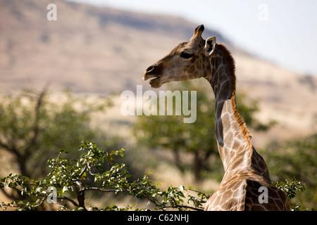 Une belle femme girafe. Concession Etendeka, Damaraland, Namibie, Kaokoveld. Banque D'Images