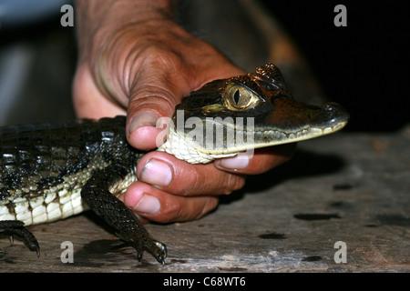 Guide détient un jeune caïman noir (Melanosuchus niger), Loreto, le Pérou, Amérique du Sud Banque D'Images