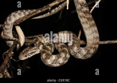 Le chat de FORSTEN serpent Boiga forsteni Midly commun venimeux