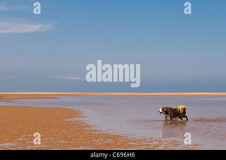 Un border collie chien qui court sur la plage de Wells-next-the-sea , Norfolk , Angleterre , Angleterre , Royaume Banque D'Images