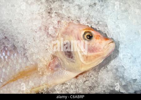 Aux yeux lumineux colorés délicatement le poisson Tilapia frais exposés à la vente sur lit de glace pilée dans le Banque D'Images