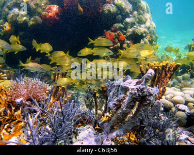 Un Grognement Poissons De Récifs Tropicaux De La Mer Des Caraïbes