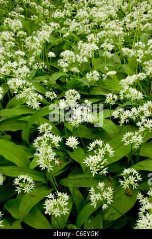 Ramsons ou ail sauvage (Allium ursinum), dans le bois de Garston (réserve naturelle RSPB) Dorset Banque D'Images