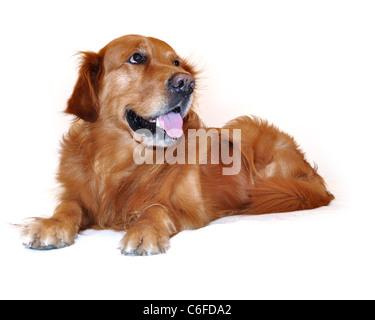 Golden retriever dog visage très expressif. Le mensonge. Vue de côté. Banque D'Images