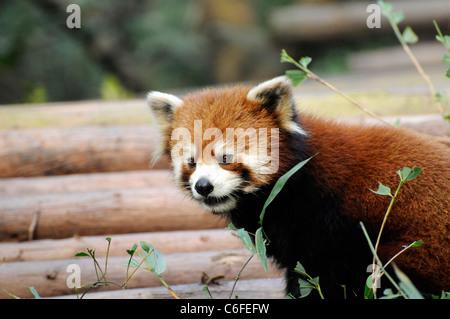 Le panda rouge (Ailurus fulgens), Base de recherche de Chengdu Panda géant de l'élevage, la Chine. Banque D'Images