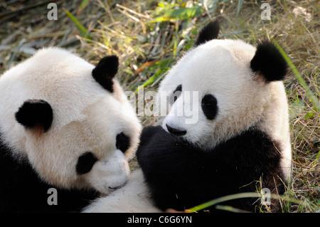 Deux sous-adulte panda géant (Ailuropoda melanoleuca), province du Sichuan, Chine Banque D'Images
