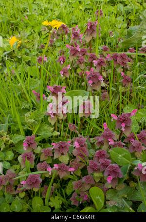Red Dead-nettle, Lamium purpureum en fleur. Mauvaises herbes généralisée.