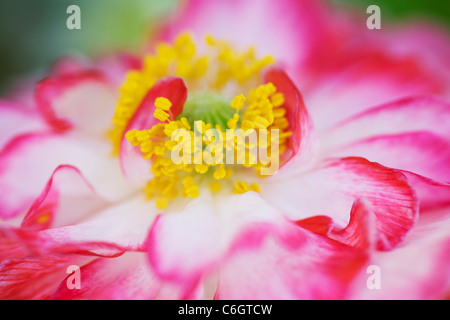 Papaver rhoeas. Close up de la fleur du pavot à Shirley.