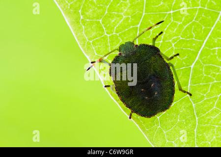 Green Shield Bug nymphe reposant sur face inférieure d'une feuille Banque D'Images