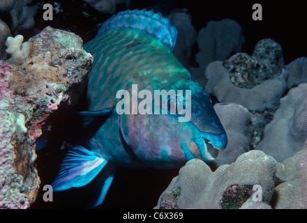 Rusty Le Perroquet (Scarus ferrugineus) se nourrissent de corail - Mer Rouge Banque D'Images