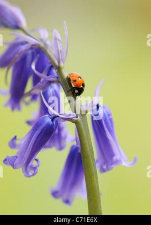 Hyacinthoides non-scripta anglais commun ou jacinthe sauvage Bluebell avec sept sur le spot ladybird pointe florale. Banque D'Images