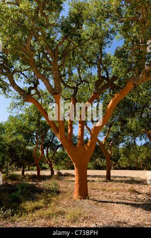 Récemment dépouillé de chênes-lièges au Portugal, l'Alentejo Banque D'Images