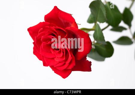 Rose (Rosa sp.), fleur rouge. Studio photo sur un fond blanc. Banque D'Images