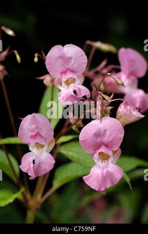 Balsamine de l'Himalaya (Impatiens) gladulifera fleurs et gousses