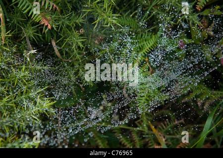 Gouttes de rosée suspendue sur un web spiders Banque D'Images