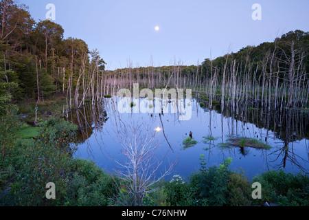La pleine lune se lever à crépuscule sur un marais près de Bala à Muskoka, en Ontario, Canada. Banque D'Images