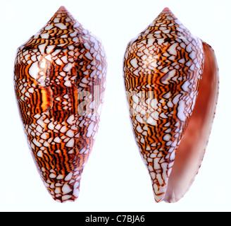 Cône Textile shell (Conus textile) c9cm. Philippines Banque D'Images