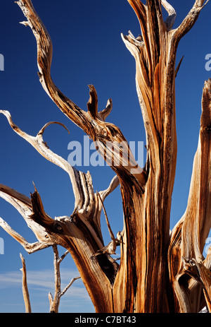 Bristlecone Pine, Inyo National Forest, Montagnes Blanches, California, USA Banque D'Images