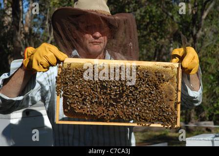 Les abeilles et apiculteur, cape Cleveland, Queensland, Australie Banque D'Images
