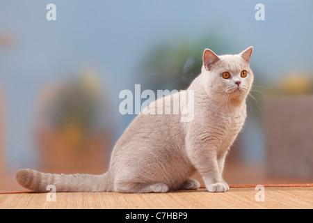 Chat British Shorthair, tomcat, lilas, 6 mois