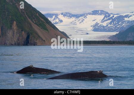 Les baleines à bosse en face de Bear Glacier, Kenai Fjords National Park, près de Seward, en Alaska. Banque D'Images