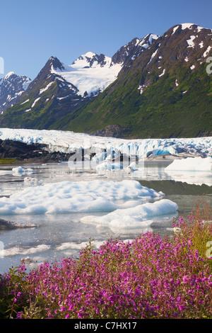 Les fleurs sauvages le long du lac en face de Spencer Glacier, Alaska, la Forêt Nationale de Chugach. Banque D'Images