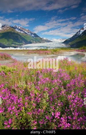 Fleurs sauvages à Spencer Glacier, Alaska, la Forêt Nationale de Chugach. Banque D'Images