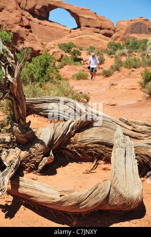 Une arborescence juniper morts sur la piste vers la skyline arch dans Arches National Park Banque D'Images