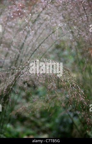 Molinie caerulea subsp. arundinace transparent à l'état humide matin de septembre Banque D'Images