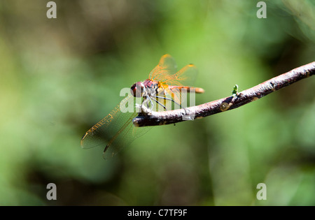 Ailes jaune vert dragon fly sur branch Rio Guadiana, Algarve, Portugal Banque D'Images