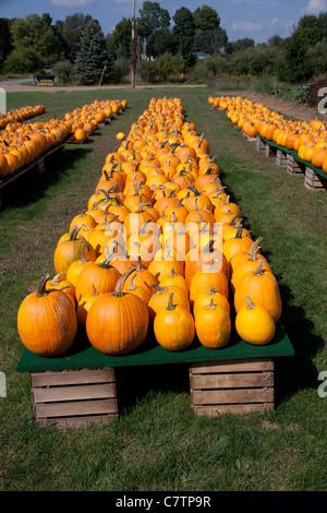 Pumpkins sur l'affichage Michigan USA Banque D'Images