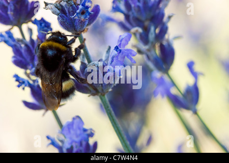Bumblebee sur la bruyère Banque D'Images
