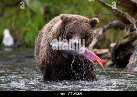 Une couleur brune ou le grizzli, la Forêt Nationale de Chugach, près de Seward, en Alaska. Banque D'Images