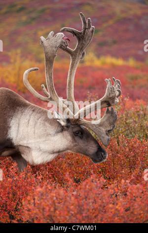 Caribou mâle, le parc national Denali, en Alaska.