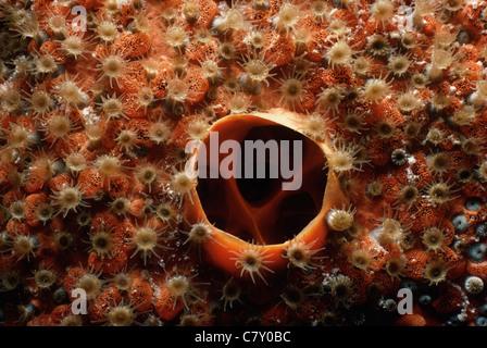 Incrusté d'éponge par colonie de purge (Trematooecia aviculifera bryozoaire dents), Île de Grand Turk - Mer des Banque D'Images