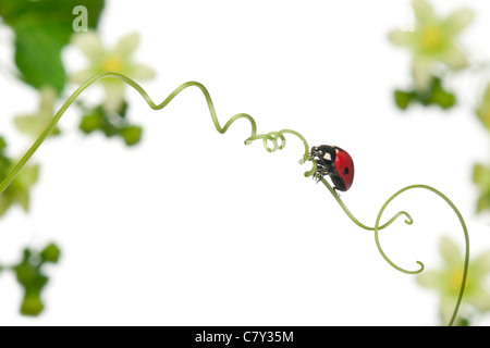 7-spot ladybird ou sept-spot ladybug sur de plus grands champs, Coccinella septempunctata, in front of white background Banque D'Images